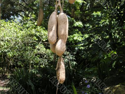 Sausage tree in Flamingo gardens in Florida