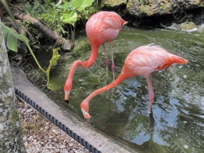 Red Flamingos in Flamingo gardens in Florida