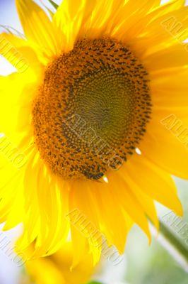 sunflower under a blue sky