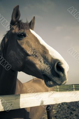Horse head of brown horse / vintage toned