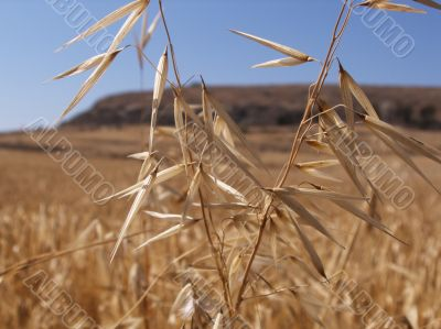 Gold wheat in the Cyprus