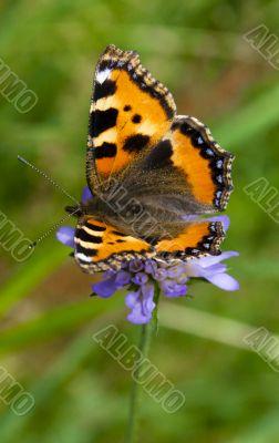 Alone butterfly.