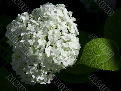 White hydrangea flowers and green sheet