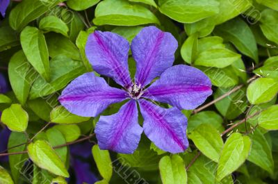 beautiful flower clematis