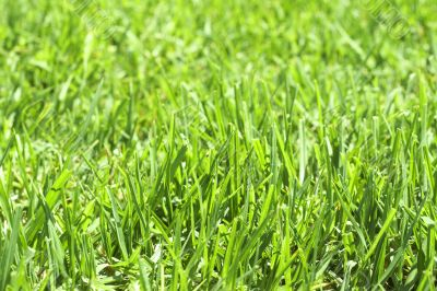 Green grass close-up