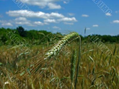 wheat on sun