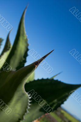 Big thorn on end of cactus leaf