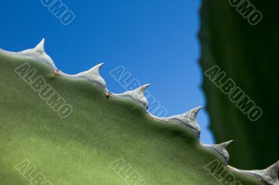Cactus thorns looking like sharks teeth