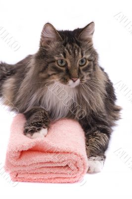 Cat with bath towel.