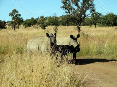 A pair of rhinoceros