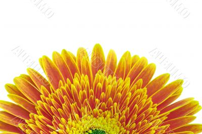 Yellow daisy flower isolated over white background