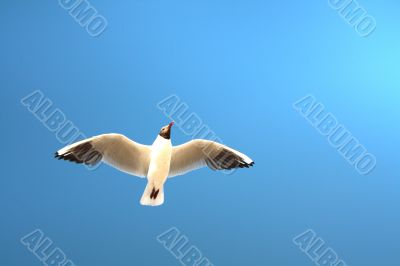 Seagull soaring against the blue sky