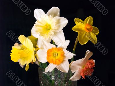 Bouquet narcissus on black background