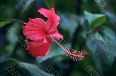 Red hibiscus flower and foliage -Dominican republic