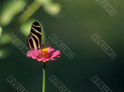 A delicate butterfly on pink flower Dominican republic