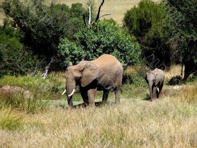 Elephant cow and a small elephant