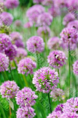 Close up of the flowers of some allium
