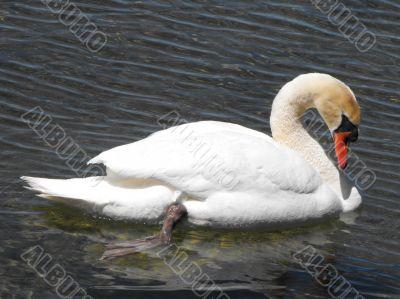 Mute Swan relaxing