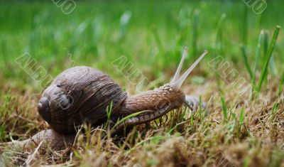 active snail