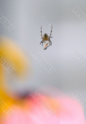 garden spider wrapping prey in web