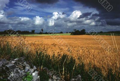 wheat field in rural ireland