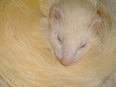 A white domestic ferret sleeping