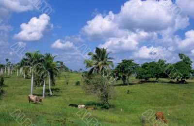 Cows in green field at Dominican republic