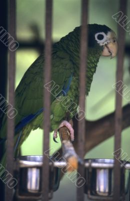 Green parrot  in Dominican republic