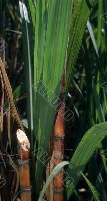 Sugar cane plant in Dominican republic