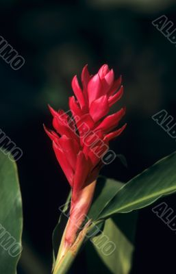 Torch Ginger red flower - Dominican republic