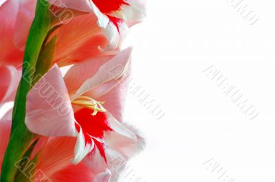 Pink gladiolus on the white background