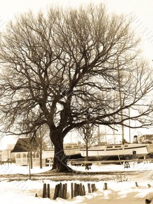 Old tree in winter