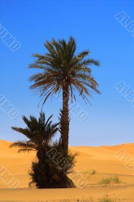 palm tree on desert