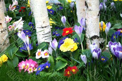 Birches among flowers
