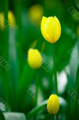 Yellow tulips in the Keukenhof Park