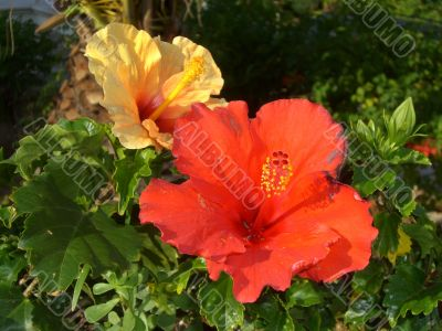Hibiscus flowers red and yellow