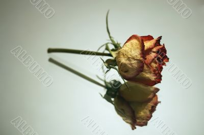 Rose on a mirror