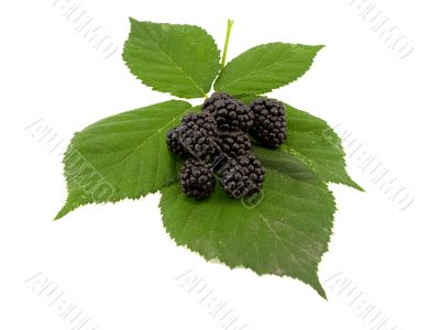 Leaves and blackberry fruits