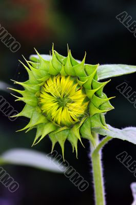 Sunflower bud on a natural background