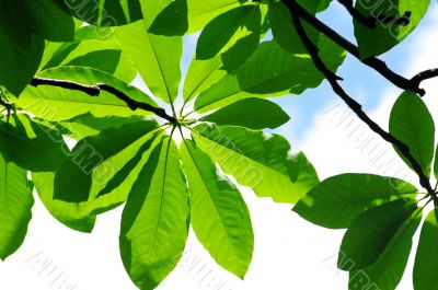 fresh leaves of magnolia against blue sky