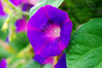 morning glory. Flower of violet color on the natural background.