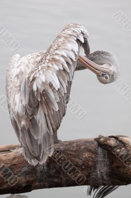 Pelican stands on a tree-trunk