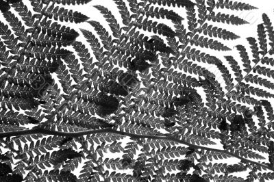 Fern Leaf in Black and White