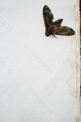 Dead Moth Old Paper