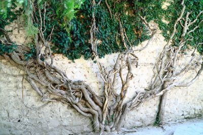 Ivy which 250 years