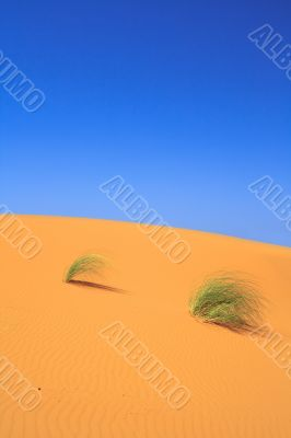 lonely tufts of grass on sand dune