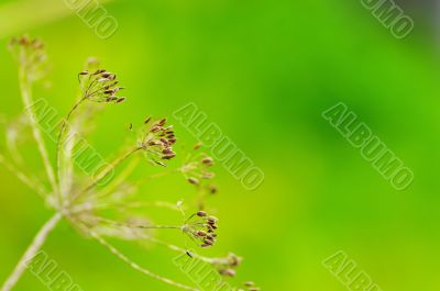 fennel seeds shallow focus in a garden