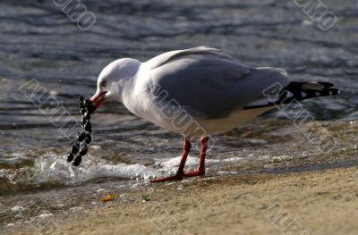 Seagull catch jewelry