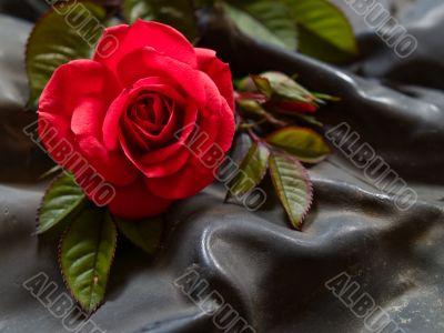 rosa gallica / rose