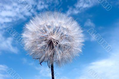 Dandelion on blue sky background